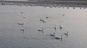 水辺の森公園の白鳥2.jpg